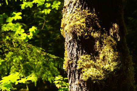 Conifer tree trunk with lichen and moss  near the Elwha River in Olympic National Park, Washington