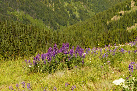 Purple lupines on hillside of Hurricane Ridge in  Olympic National Park, Washington Editorial