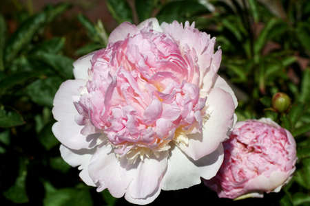 Peony blossom, from a  Seattle garden