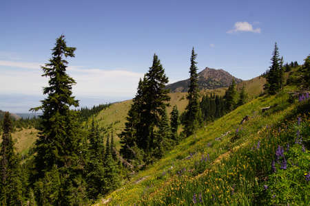 Conifer forest on hillside of Hurricane Ridge in  Olympic National Park, Washington Editorial
