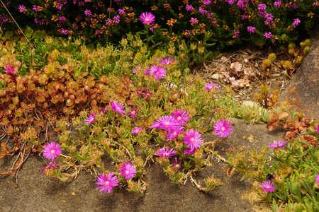 Purple ice plant in a garden in Seattle