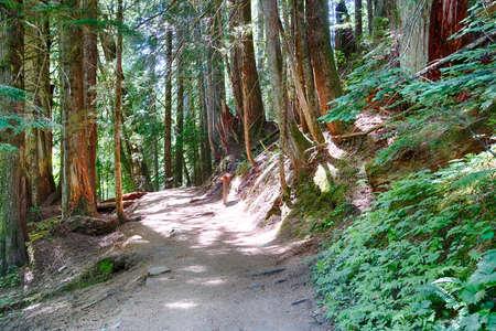 Trail through conifer forest near the Grove of the patriarchs, Ohanapecosh, Mount Rainier National Park, Washington