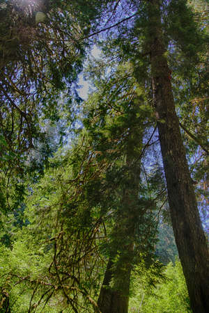 Looking up  through the canopy of oldgrowth conifer forest in the Grove of the patriarchs, Ohanapecosh, Mount Rainier National Park, Washington
