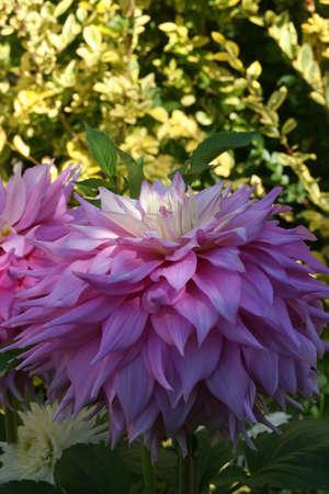 dahlia: Close-up petals, pink Dahlias, Seattle, Pacific Northwest