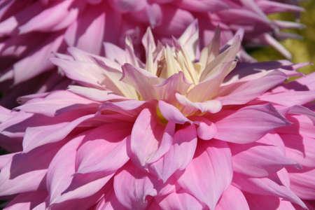 Close-up petals, pink Dahlias, Seattle, Pacific Northwest