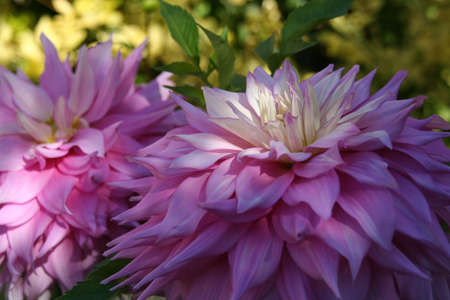 Close-up petals, pink Dahlias, Seattle, Pacific Northwest
