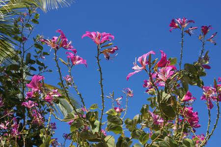 kona: Pink tropical flowers near  Kona, Hawaii Stock Photo