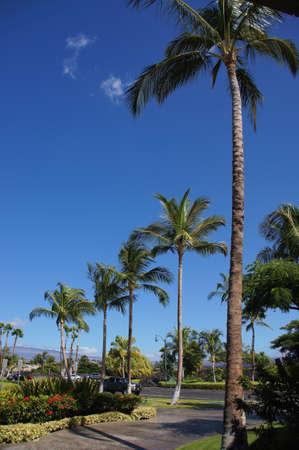 kona: Coconut palms Near the shore.  Kona, Hawaii
