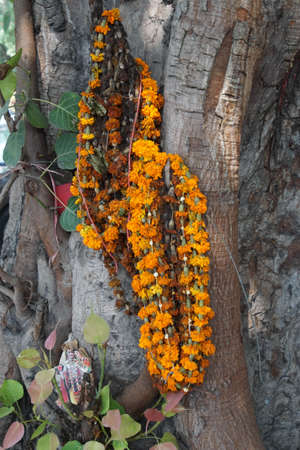 Marigold garland hanging on banyan fig tree New Delhi, India