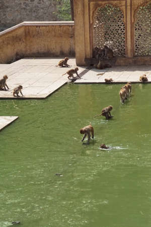 Rhesus macaques ( Macaca mulatta ) drinking from the temp.le tank pool, Galtaji temple complex, Jaipur, Rajasthan, India