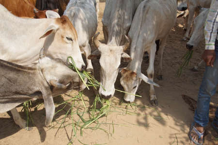 Cattle outside the Galtaji temple complex, Jaipur, Rajasthan, India 版權商用圖片
