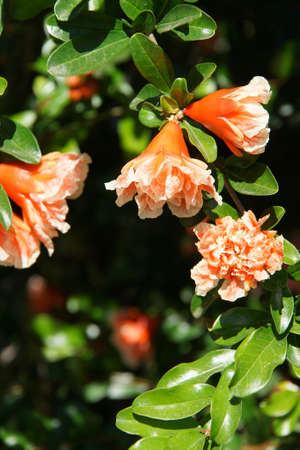 Pomegranate blossoms ( Punica granatum ) on  trees in  Perge,  Turkey