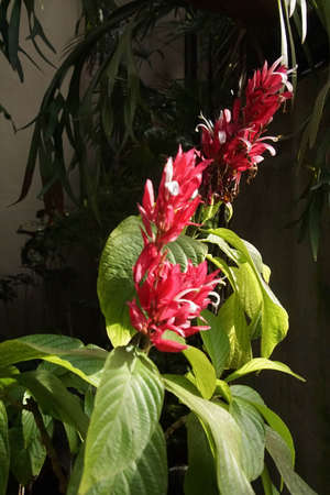 Brazilian Red clock flowers ( Megaskepasma erythrochlamys )  in Botanical house of Balboa Park, San Diego, California