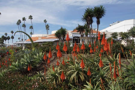 Orange aloe flowers, coastal garden in Laguna Beach, California Stock Photo