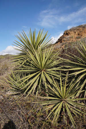 Chapparal yucca, Our Lords candle ( Hesperoyucca whipplei ) in desert landscape at Torrey Pines State Preserve near San Diego, California Stock Photo