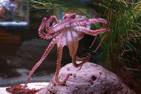 SAN PEDRO, CALIFORNIA - DEC 5, 2017 - Octopus clings to aquarium tank glass wall, Cabrillo Marine Aquarium, San Pedro, California
