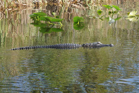 American alligator submerged in a canal  in the everglades nearFort Lauderdale, Florida Banco de Imagens - 92641959