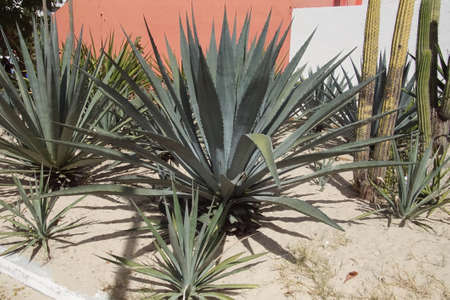 Agave cactus against ochre wall, Huatulco, Mexico