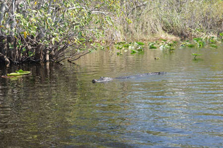 American alligator submerged in a canal  in the everglades nearFort Lauderdale, Florida