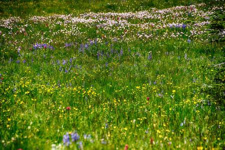 Meadows of wildflowers on the east slopes of Mount Rainier near Sunrise, National Park, Washington Stock Photo