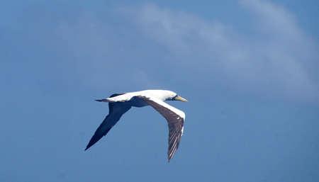 Sterne voler au-dessus d & # 39 ; un voilier dans les caraïbes de la mer en antarctique Banque d'images - 93802923