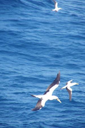 Sterne voler au-dessus d & # 39 ; un voilier dans les caraïbes de la mer en antarctique Banque d'images - 94061381