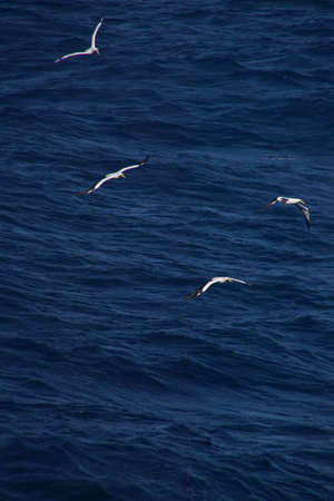 Tern flying alongside a cruise ship in the Caribbean Sea off Aruba Stock Photo