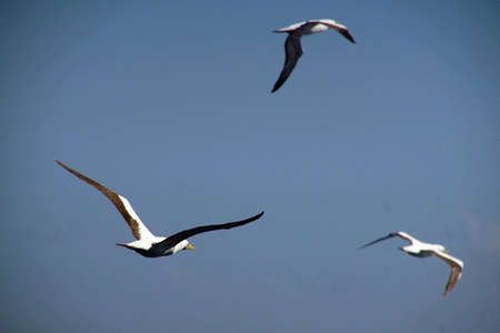 Sterne volant à côté d'un bateau de croisière dans la mer des Caraïbes au large d'Aruba Banque d'images - 94434173