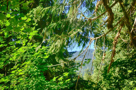 Mixture of hardwood and conifers in forest of the Grove of the patriarchs, Ohanapecosh, Mount Rainier National Park, Washington
