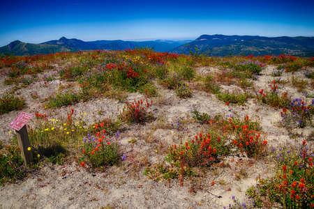 Orange Indian paintbrush cover the meadows of Johnston Ridge, Mt St Helens Volcanic National Monument, Washington