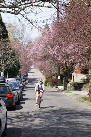 SEATTLE - MAR 31, 2018 - Bicyclist on residential street with spring cherry blossoms, Seattle, Washington