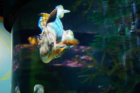 Parrotfish with rasping fused teeth, Newport, Oregon