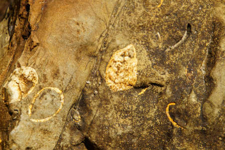Clam fossils from the miocene era about 5 to 25 million years ago, Ona beach, Newport, Oregon 版權商用圖片