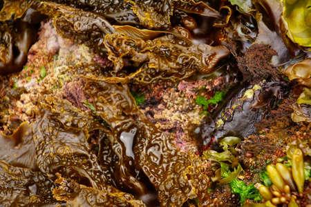 Black Katy or leather chiton ( Katharina tunicata )  in a tide pool Newport, Oregon