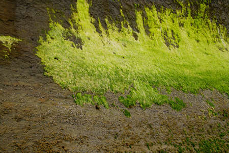 Fluorescent lime green seaweed kelp and algae at low tide near  Devils Punchbowl,  Otter beach, Newport, Oregon