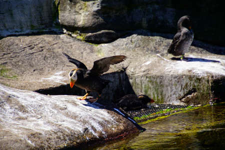 Tufted puffin on rocky shore ( Fratercula cirrhata ) Newport, Oregon Stock fotó