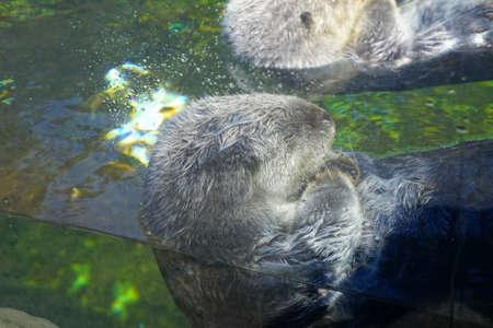 Floating sea otter grooming himself,  Newport, Oregon Stock Photo