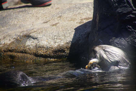 NEWPORT, OREGON - MAY 22, 2018 - Feeding time for the sea otters in  Newport, Oregon Editorial