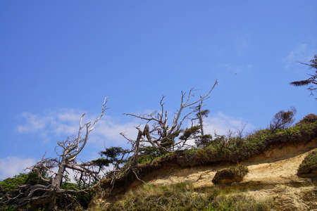 Silhouettes of wind sculpted Krumholz trees on eroded hill above Ona beach State Park, Newport, Oregon Stock Photo