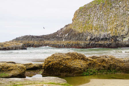 Barnacles and seaweed kelp at low tide   on Seal Rock beach,  Newport, Oregon
