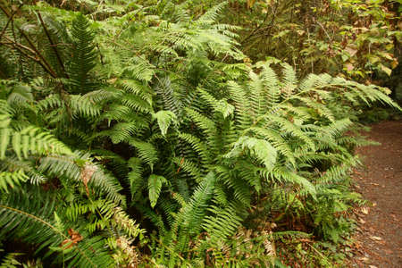 Western Sword ferns in the undergrowth of redwood forest,   Simpson Reed Grove of Jedediah Smith Redwoods State Park near Crescent City, Oregon