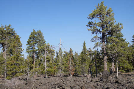 Conifer forest slowly advances into ancient lava flow, Lava Cast Forest, Newberry National Volcanic Monument, Oregon