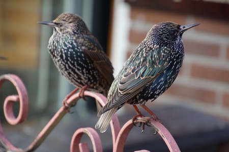Starling waiting for crumbs outside a café in Volendam, Netherlands 版權商用圖片