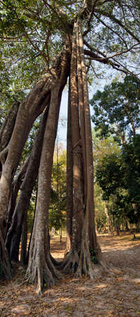 Strangler fig with perfectly straight air-roots that dropped down, Sambor Pre Kuk, Kampong Thom,  Cambodia