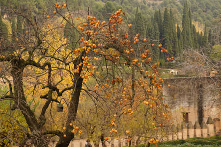 Bitter orange trees in garden of the Alhambra Palace, Grenada, Spain