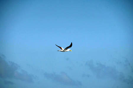 Tern flying alongside a cruise ship in the Caribbean Sea off Aruba Banque d'images - 115788250