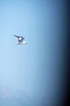 Tern flying alongside a cruise ship in the Caribbean Sea off Aruba Banque d'images - 115787947