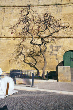 Twisted tree outside medieval fortifications of Valletta, Malta Imagens