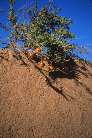 Pomegranate tree drapes over mud brick wall near  Yazd,Iran, Middle East Stok Fotoğraf
