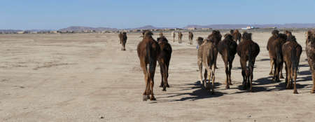 Herd of camels crossing the highway near  Rissani, Morocco, Africa